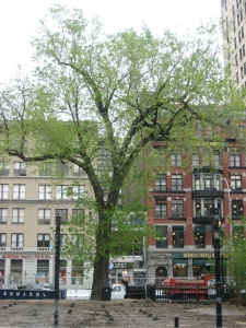 Magnificent Tree at Union Sq Park City wants to cut down