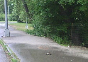 Turtle crossing, Prospect Park
