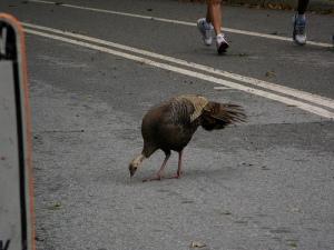 Wild Turkey off Central Park running path